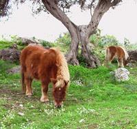 Cavalli presso i Nebrodi